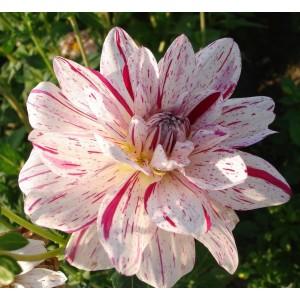 Ντάλια Bright Diamond Λουλουδιών Φυτώρια - e-fytonet.gr
