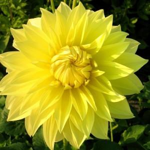 Ντάλια Glory of Heemstede Λουλουδιών Φυτώρια - e-fytonet.gr