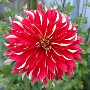 Ντάλια Nick Sr. Λουλουδιών Φυτώρια - e-fytonet.gr