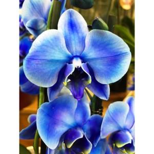 Ορχιδέα Phalaenopsis μπλε Ορχιδέες Φυτώρια - e-fytonet.gr
