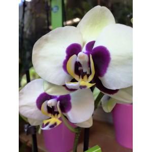 Ορχιδέα Phalaenopsis λευκή - μωβ Ορχιδέες Φυτώρια - e-fytonet.gr