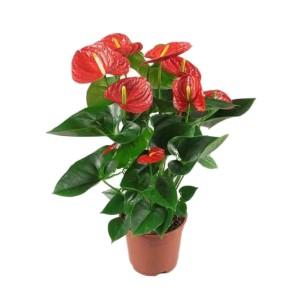 Ανθούριο κόκκινο σε δύο μεγέθη Εσωτερικού χώρου Φυτώρια - e-fytonet.gr