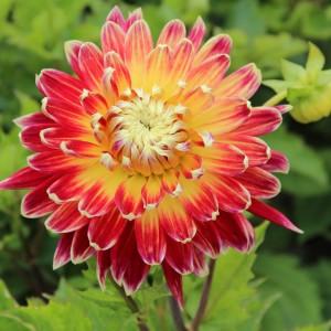 Ντάλια Akita Λουλουδιών Φυτώρια - e-fytonet.gr
