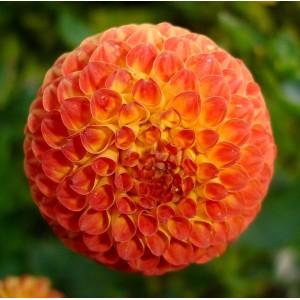 Ντάλια Bantling Λουλουδιών Φυτώρια - e-fytonet.gr
