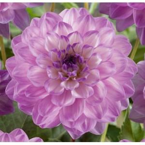 Ντάλια Blue Wish Λουλουδιών Φυτώρια - e-fytonet.gr