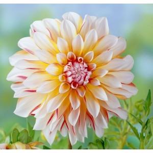 Ντάλια Caribbean Fantasy Λουλουδιών Φυτώρια - e-fytonet.gr