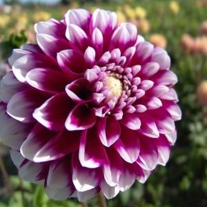 Ντάλια Edinburgh Λουλουδιών Φυτώρια - e-fytonet.gr