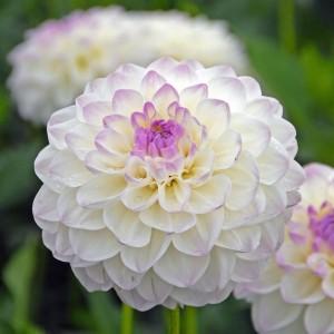 Ντάλια Eveline Λουλουδιών Φυτώρια - e-fytonet.gr