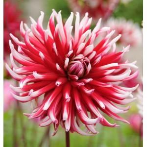 Ντάλια Friquolet Λουλουδιών Φυτώρια - e-fytonet.gr