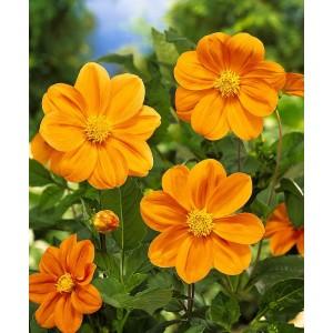 Ντάλια G.F. Hemeric Λουλουδιών Φυτώρια - e-fytonet.gr