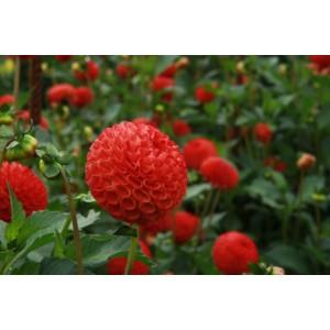 Ντάλια Glow Λουλουδιών Φυτώρια - e-fytonet.gr