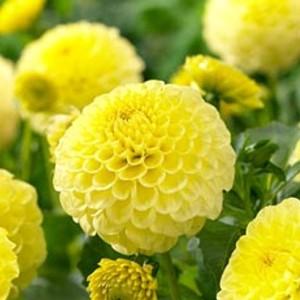 Ντάλια Golden Scepter Λουλουδιών Φυτώρια - e-fytonet.gr