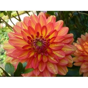 Ντάλια Graceland Λουλουδιών Φυτώρια - e-fytonet.gr