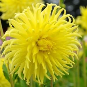Ντάλια Kennemerland Λουλουδιών Φυτώρια - e-fytonet.gr