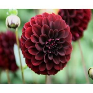Ντάλια La Recoleta Λουλουδιών Φυτώρια - e-fytonet.gr