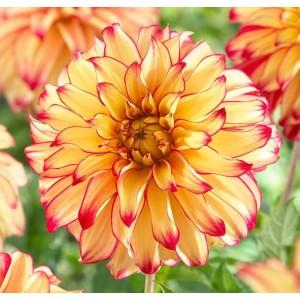 Ντάλια Lady Darlene Λουλουδιών Φυτώρια - e-fytonet.gr