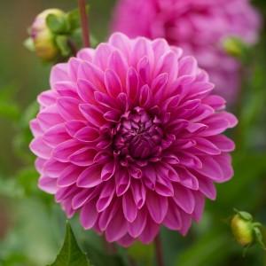 Ντάλια Lucky Number Λουλουδιών Φυτώρια - e-fytonet.gr