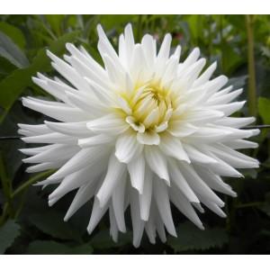 Ντάλια My Love Λουλουδιών Φυτώρια - e-fytonet.gr