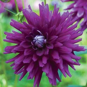 Ντάλια Purple Gem Λουλουδιών Φυτώρια - e-fytonet.gr