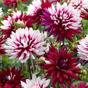 Ντάλια Rebecca's World Λουλουδιών Φυτώρια - e-fytonet.gr