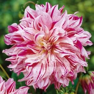 Ντάλια Smokey Λουλουδιών Φυτώρια - e-fytonet.gr