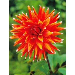 Ντάλια Color Spectacle Λουλουδιών Φυτώρια - e-fytonet.gr