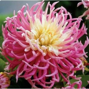 Ντάλια Star's Favourite Λουλουδιών Φυτώρια - e-fytonet.gr