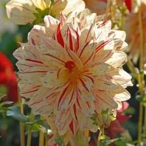Ντάλια Timeless Λουλουδιών Φυτώρια - e-fytonet.gr