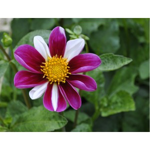 Ντάλια Twyning's Smartie Λουλουδιών Φυτώρια - e-fytonet.gr