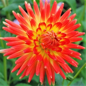 Ντάλια Vuurvogel Λουλουδιών Φυτώρια - e-fytonet.gr