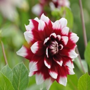 Ντάλια Duet Λουλουδιών Φυτώρια - e-fytonet.gr