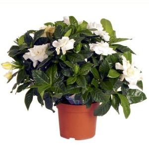 Γαρδένια αρωματική Ανθόφυτα Φυτώρια - e-fytonet.gr