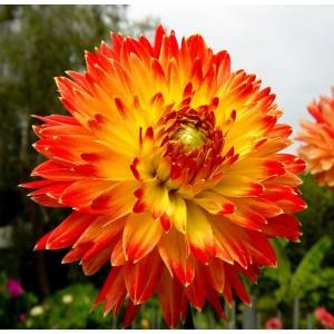 Ντάλια Procyon Λουλουδιών Φυτώρια - e-fytonet.gr