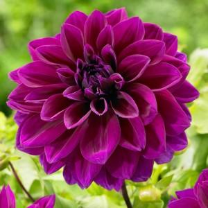 Ντάλια Thomas A. Edison Λουλουδιών Φυτώρια - e-fytonet.gr