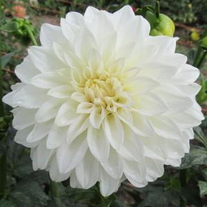 Ντάλια White Perfection Λουλουδιών Φυτώρια - e-fytonet.gr
